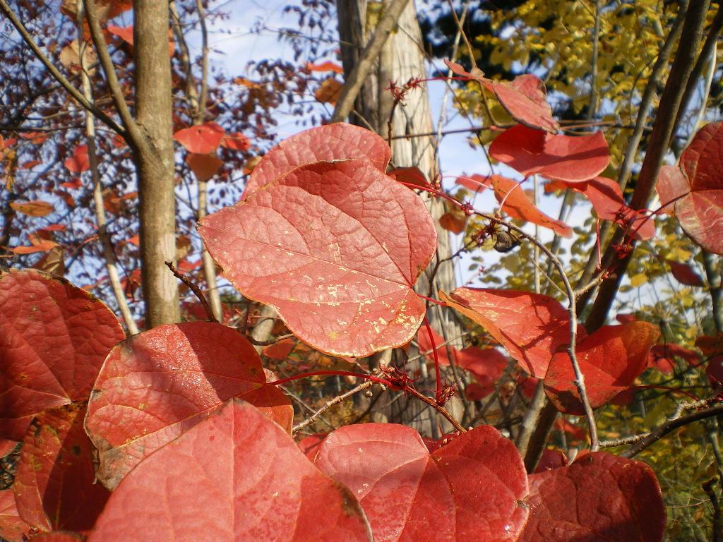 ベニマンサクの葉
