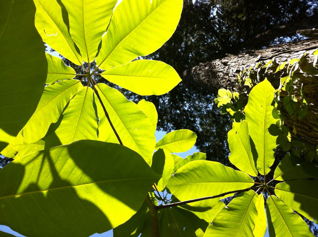 母樹林ホウバ